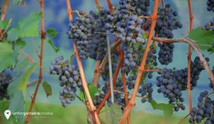 Croatian wine, Peljesac wine