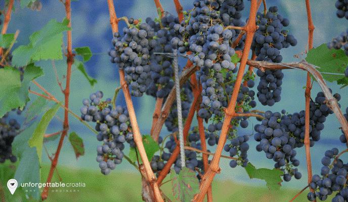 Babic grape yard