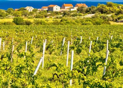 Croatia Wine yard