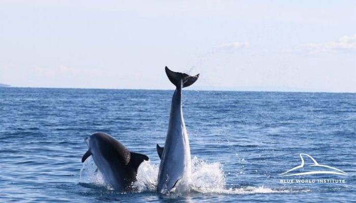 Blue World Institute, Dolphins playing in Adriatic Sea