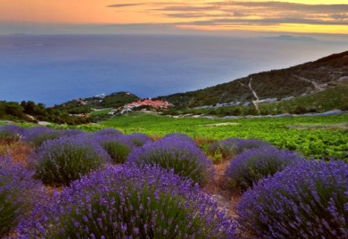 Lavender fields in Hvar
